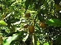 Starr 050216-4050 Pittosporum undulatum.jpg