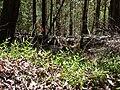 Starr 070331-6201 Unknown orchidaceae.jpg