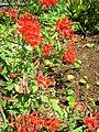 Starr 071024-8808 Bouvardia ternifolia.jpg