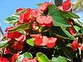 Starr 080103-1191 Begonia sp..jpg