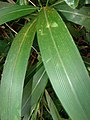 Starr 080304-3180 Setaria palmifolia.jpg