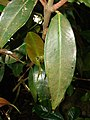 Starr 090213-2410 Syzygium jambos.jpg