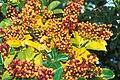 Starr 990105-2931 Schefflera arboricola.jpg