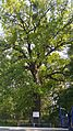 Stejar pedunculat 02.jpg