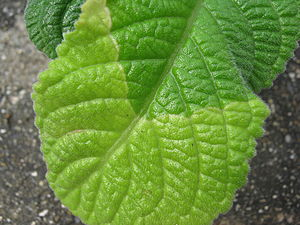 Abscission - Streptocarpus leaf showing abscission line in response to reduced day length
