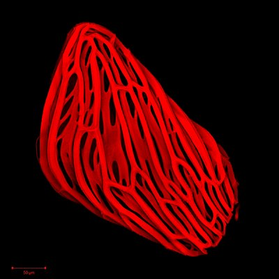 Striga seed coat autofluorescence.jpg