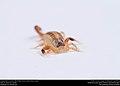 Striped Bark Scorpion (Buthidae, Centruroides vittatus (Say)) (36906272405).jpg