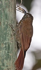 Strong-billed woodcreeper.jpg