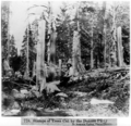 Stumps of trees cut by the Donner Party.png