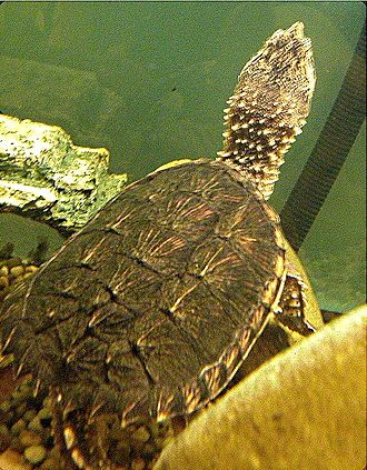 Chelydridae - Image: Submerged Snapping turtle