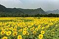 Sunflower fields at Dongshaoqu (20150726103327).jpg