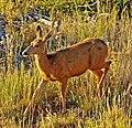 Sunrise Doe, Mesa Verde NP 8-08 (15263834829).jpg