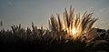 Sunset through Kaash (Kans Grass) (15190518139).jpg