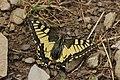 Swallowtail - Papilio machaon (44359719471).jpg