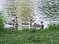 Swans with their Kids in Lietzensee Park 20.JPG