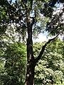 Swietenia mahagoni - San Juan Botanical Garden - DSC07061.JPG