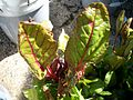 Swiss Chard in a Container Garden.JPG