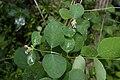 Symphoricarpos albus maysel 60 01062007 3.jpg