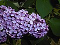 Syringa vulgaris Hugo de Vries 2016-05-20 0932.jpg