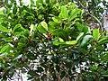 Syzygium sandwicense (4749628660).jpg