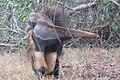 Tamanduá bandeira com filhote nas costas - Myrmecophaga tridactyla 02.jpg