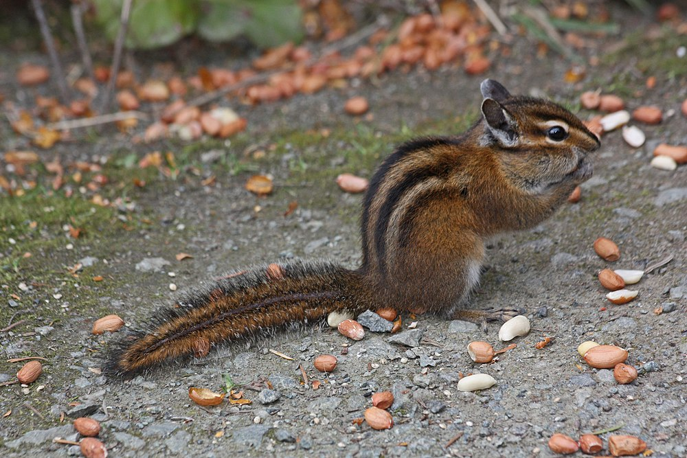 The average litter size of a Townsend's chipmunk is 4