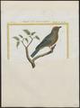 Tangara cayana - 1700-1880 - Print - Iconographia Zoologica - Special Collections University of Amsterdam - UBA01 IZ15900313.tif