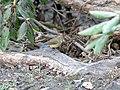 Tarsiger rufilatus (Female) I2 IMG 3709.jpg
