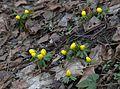 Tavasz hírnökei - panoramio.jpg
