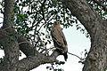 Tawny Eagle (Aquila rapax) (16476982160).jpg