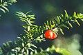 Taxus canadensis 5504066.jpg