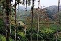 Tea plantation in Puli Township, Nantou County 20131211.jpg