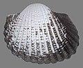 Tegillarca granosa (MNHN-IM-2012-27655)3.jpeg