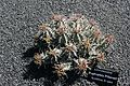 Teguise Guatiza - Jardin - Euphorbia pillansii 01 ies.jpg