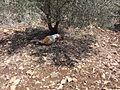 Tel Akko Gilgamesh sleeping during Fruit Break (9510739504).jpg