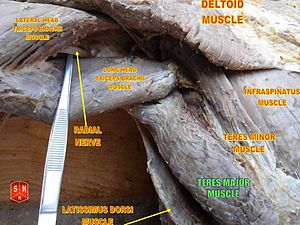 Teres major muscle - Image: Teres major muscle