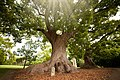 The Camphor Trees, Vergelegen.jpg
