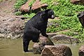 The Himalayan black bear (Ursus thibetanus) is a rare subspecies of the Asiatic black bear. 23.jpg