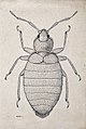 The female tropical bedbug (Cimex hemipterus). Pen and ink d Wellcome V0022601EL.jpg