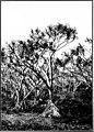 The indigenous trees of the Hawaiian Islands (1913) (20732742221).jpg