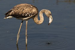 The juvenile greater flamingo.jpg