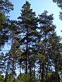 The pine trees. August 2013. - Сосны. Август 2013. - panoramio.jpg