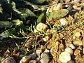 Thesium ramosum sl44.jpg