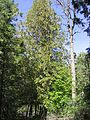 Thuja occidentalis SNF1.jpg