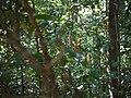 Thunbergia mysorensis (16202639982).jpg