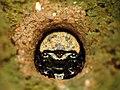 Tiger Beetle Larva (28570493544).jpg