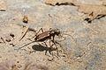 Tiger beetle Cicindelidae ID needed (15719388278).jpg