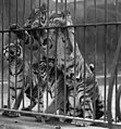 Tiger cubs in India, 1922- LOC npcc.07045 (cropped).jpg