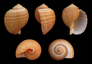 <i>Tonna galea</i> Species of gastropod