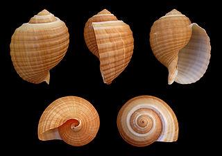 <i>Tonna</i> (gastropod) Genus of gastropods